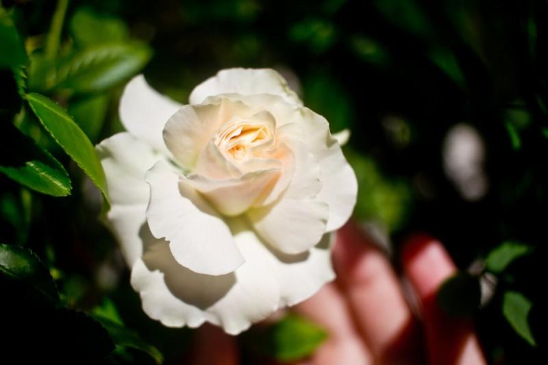 Роза, которая должна была быть Эной Харкнесс, и цветение глоксинии Аванти Светло-фиолетовой.