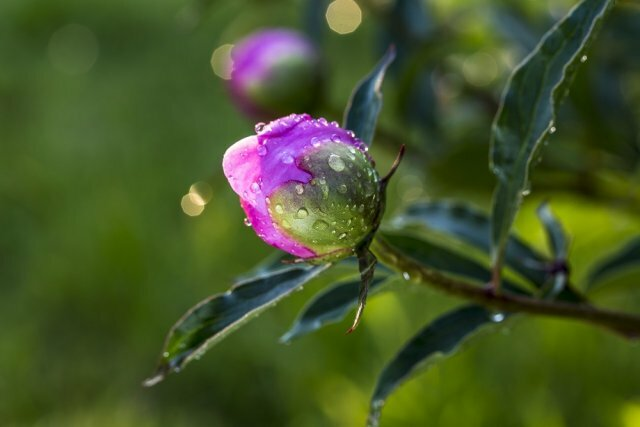 Секреты красивого цветения травянистых пионов