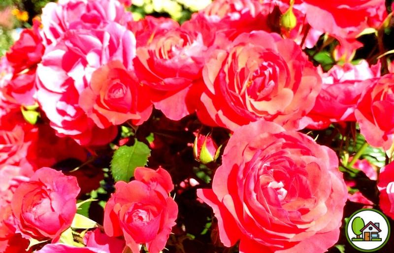 Соседка по даче подсказала простое средство для подкормки роз, после которого они будут цвести пышно и ярко все лето