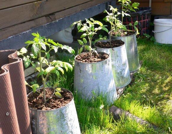 Способ выращивания помидоров в ведрах без дна