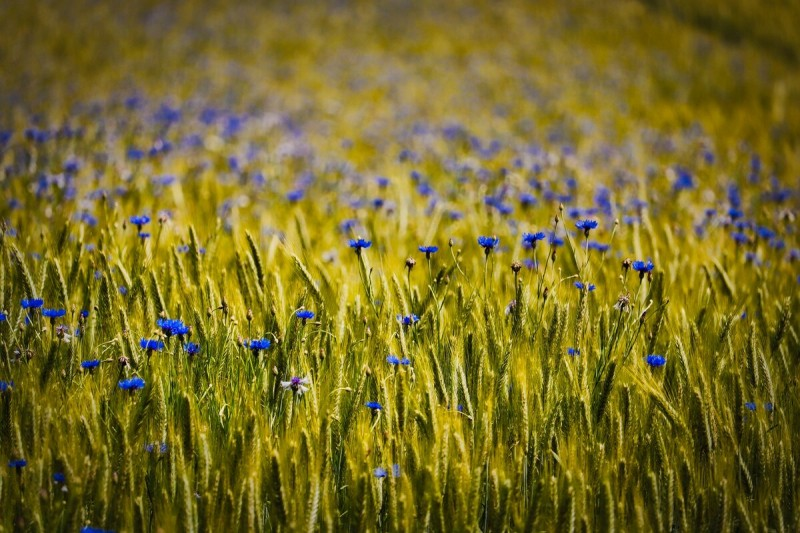 Вспоминаем детство. Полевые цветы: ромашки, васильки и маки