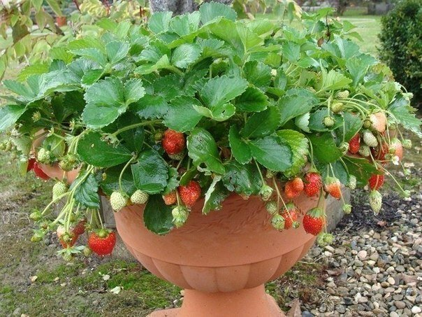 Выращивание садовой земляники