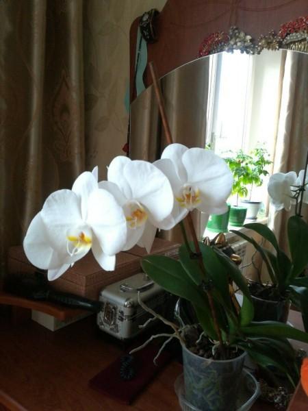 4 хитрости, чтобы орхидея зацвела