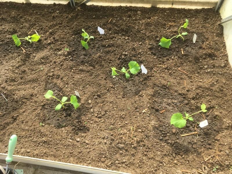 90 дынь за сезон можно вырастить в одной теплице (как посадить) 3