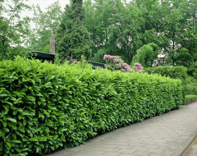Как часто надо подстригать живую изгородь: виды растений и сроки