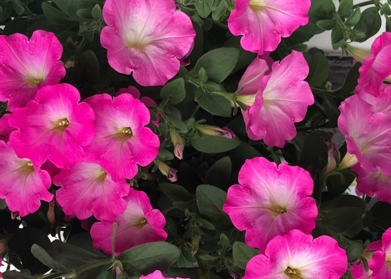 Как и чем поливать🌺петунию для пышного цветения 🌺в горшке на улице - делюсь своими секретами