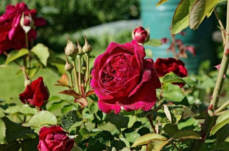 Как я применяю касторовое масло для роз - цветут до самых холодов
