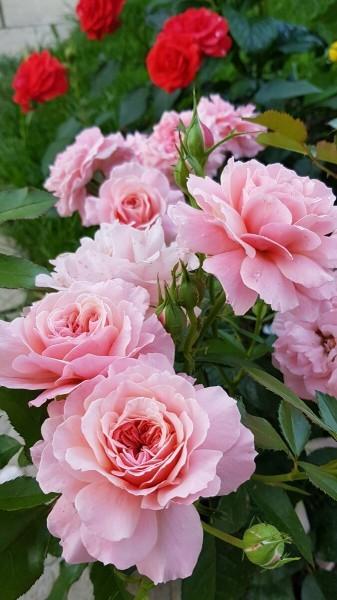 Как правильно обрезать розы после цветения. Грубейшая ошибка неопытных розоводов