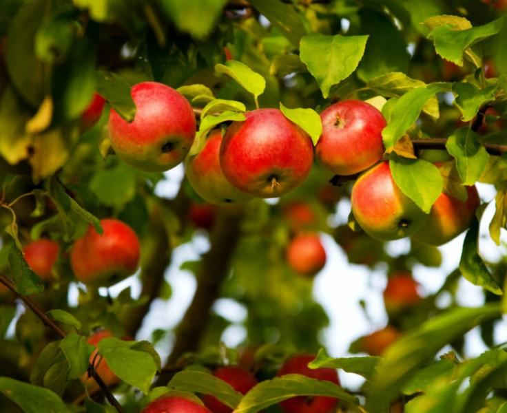 Как правильно обрезать ветки яблони, чтобы собирать богатый урожай каждый год