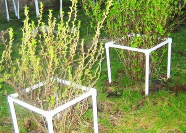 Как сделать регулируемые опоры для ягодных кустарников?