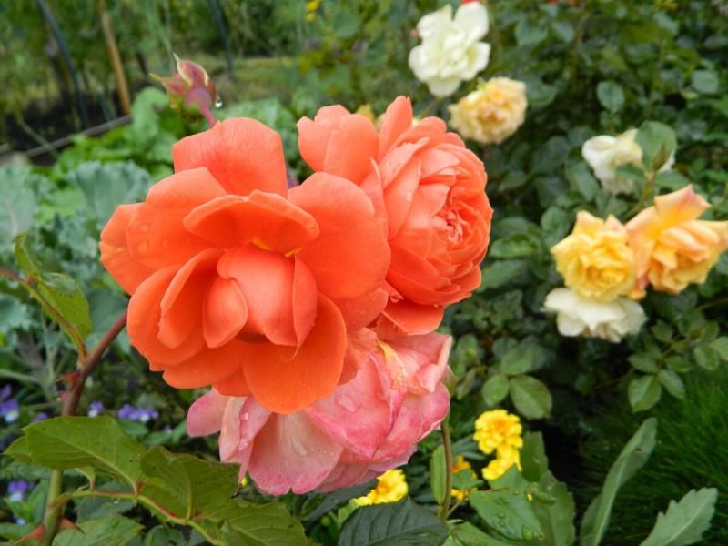 Какие сорта роз хорошо цветут в сибирском саду