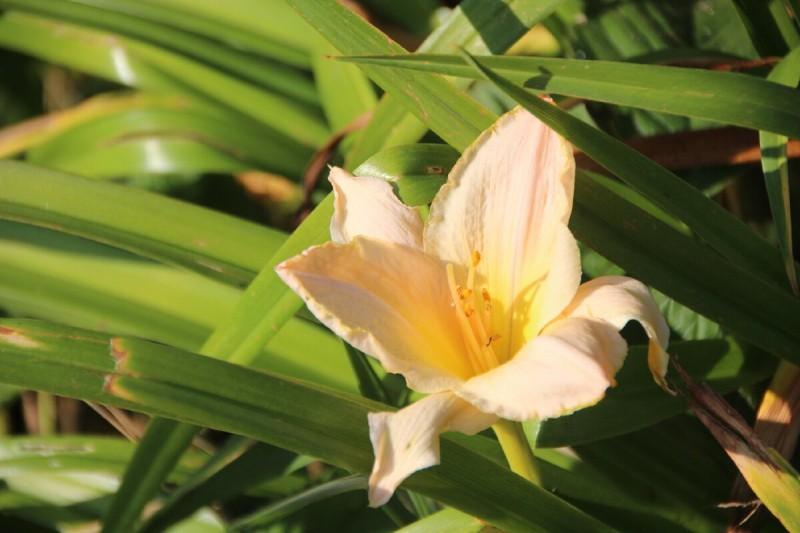 Лилейник – не лилия, но как хорош!