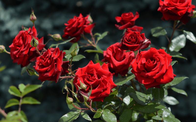 Лучшие розы можно вырастить только из черенка посаженного осенью