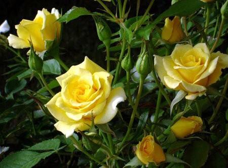 Мифы о выращивании роз: часть 2