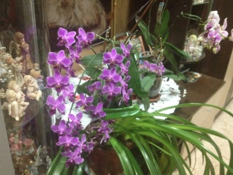 Орхидея заменила бабушкину герань