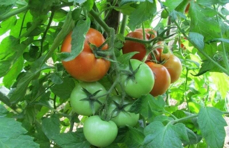 Ранние помидоры: градация по срокам созревания и примеры сортов