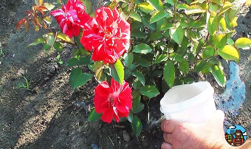 Рассказываю, чем подкормить розы в июле