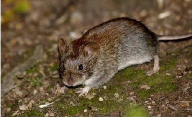 Рассказываю как избавиться от Мышей на даче: недорогой, но Эффективный способ