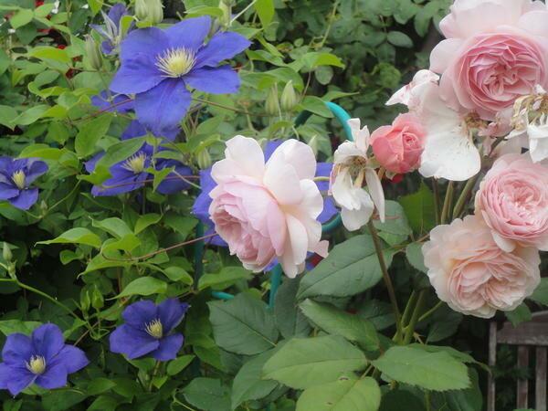 Розы и клематисы: как создать красивую композицию