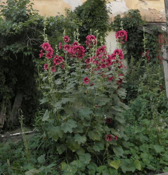 Штокроза (мальва) - цветок-проблема или радость? Что вырастает из ее самосева