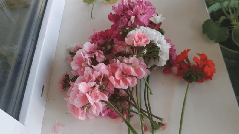 Удалила все цветоносы у гераней в самый разгар цветения. Рассказываю зачем это сделала