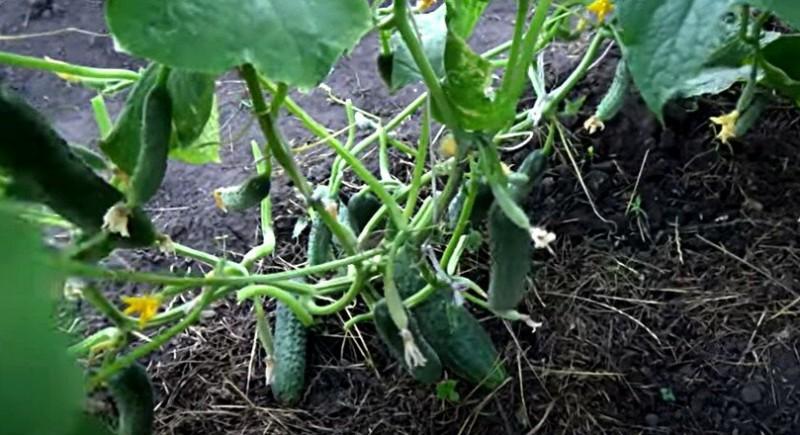 Выращивание огурцов. Моим методом пользуются все соседи.