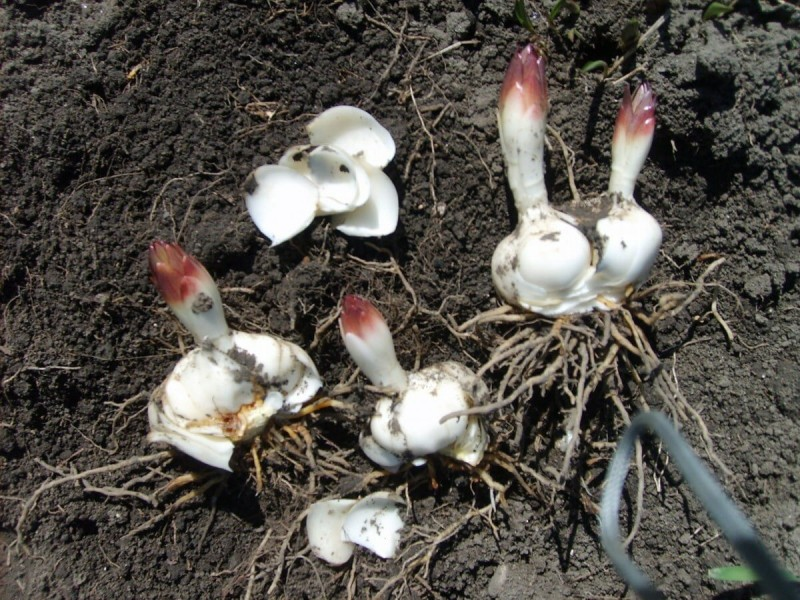 5 секретов правильной посадки лилий в августе