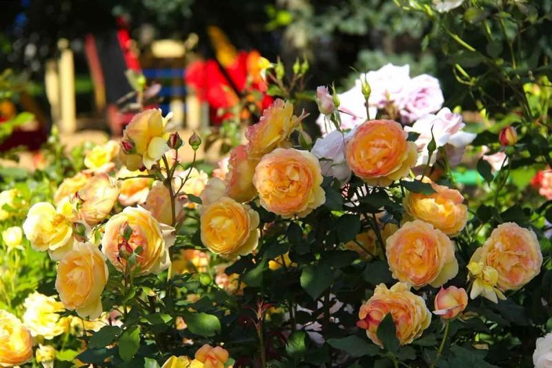 Август: начинаем готовить розы к пересадке
