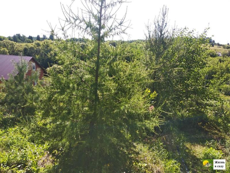 """""""Без лесной земли не сажаем"""": подробности посадки лиственницы. Показываю, как она выросла через год"""