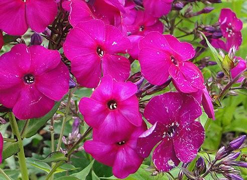 Что надо сделать с флоксами после цветения: 5 пункта - залог буйных красок следующим летом. Рассказываю для заботливых цветоводо