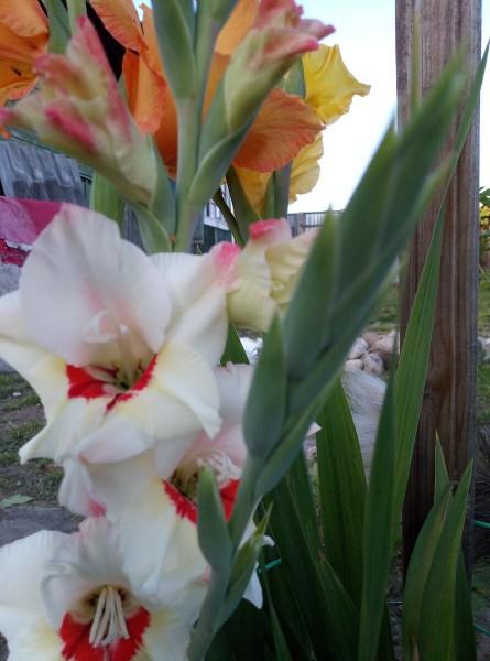 Если роза-королева сада, то его король-несравненный гладиолус!!!