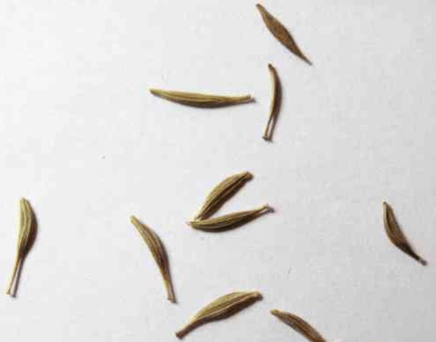 Гербера из семян: вырастила, высадила в неудачное место, но все равно цветет и нравится