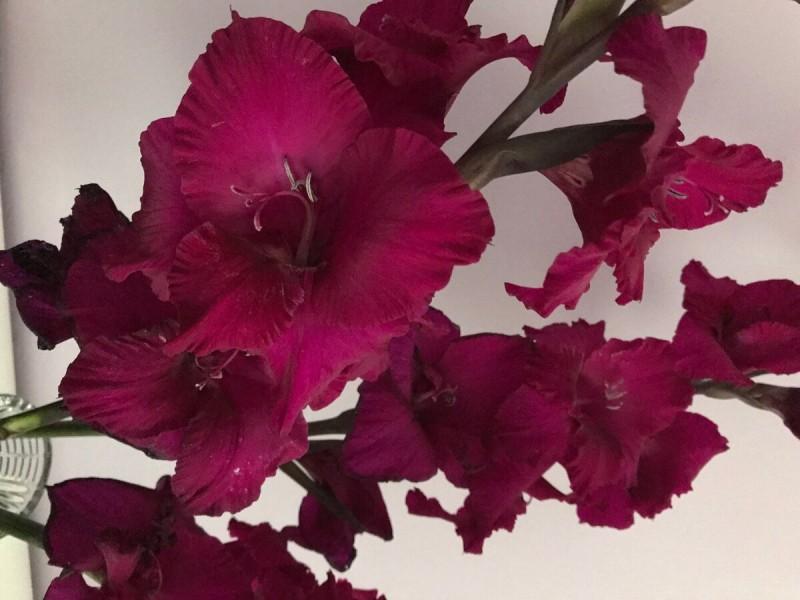 Гладиолусы мельчают и растут кривыми? 🌼 Рассказываю, что делать, чтобы цветы были крупными и красивыми
