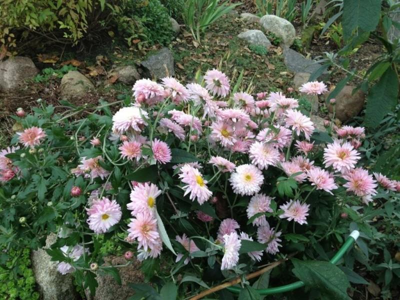 Хризантемы мультифлора (фото и преимущества выращивания низких хризантем)