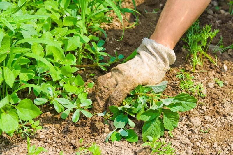 Изгоняем сорняки с газона с помощью культурных трав