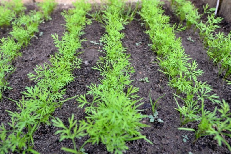 Как я сею укроп и петрушку в августе, и получаю всходы уже через 5 дней, а через 14 ем свежую зелень