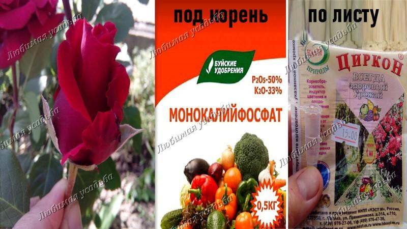 Как ухаживать за розами в августе
