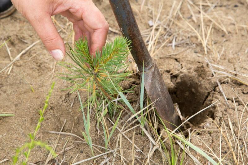 Как вырастить кедр на своем участке