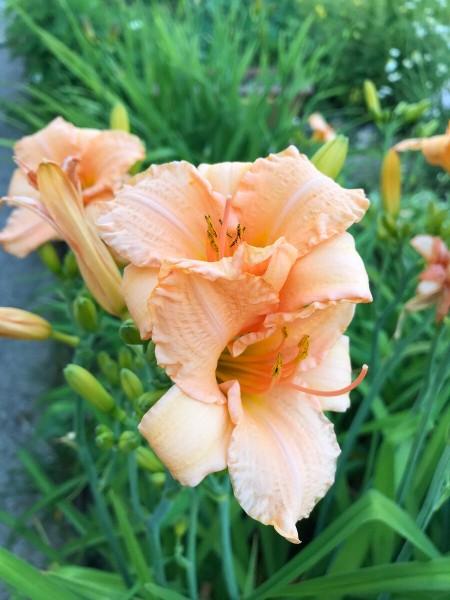 Когда лилейники создают многоцветье сада без проблем и забот