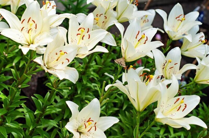 Лилии отлично растут и пышно цветут, если их вовремя пересаживать. О том, как это правильно делать, рассказываю всем интересующи