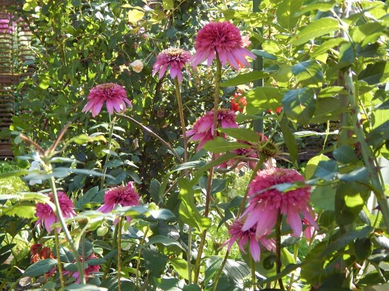 Мой цветник в середине августа
