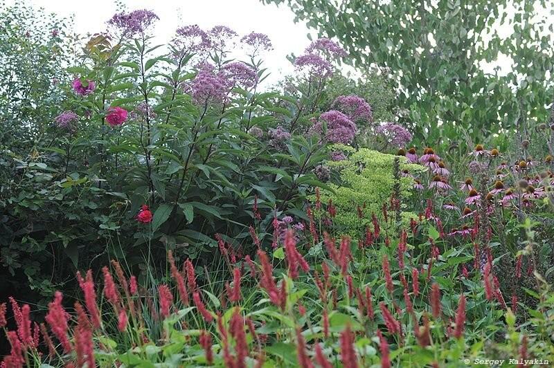 Мой сад в начале августа: цветут розы и гортензии
