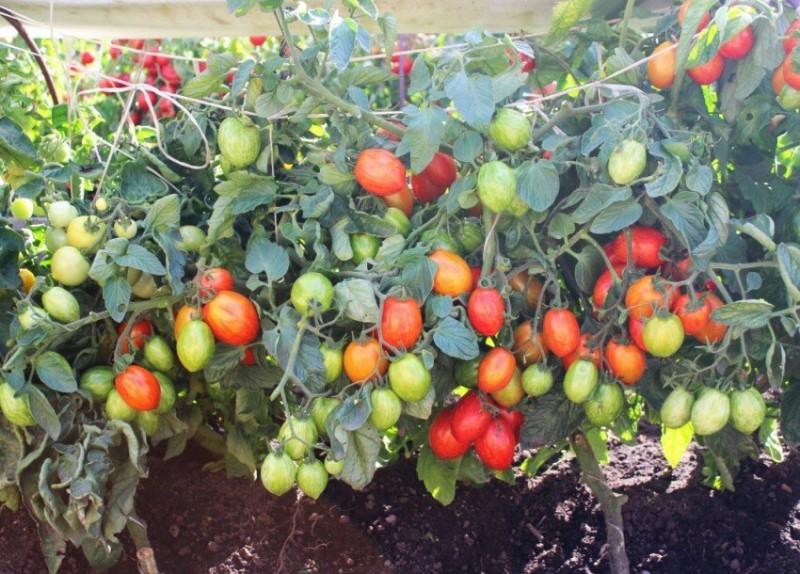 Моя соседка по даче сажает помидоры черри в октябре и очень довольна результатом. Все очень просто