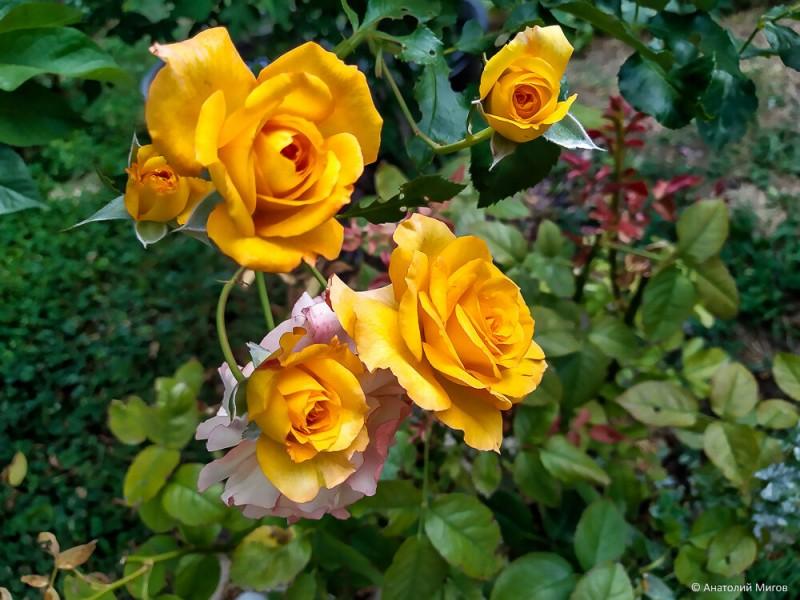 Наш сад в середине августа. Цветут розы, хосты и гибискусы