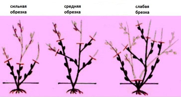 Научилась правильно обрезать розы после цветения - куст становится пышнее. Делюсь опытом.