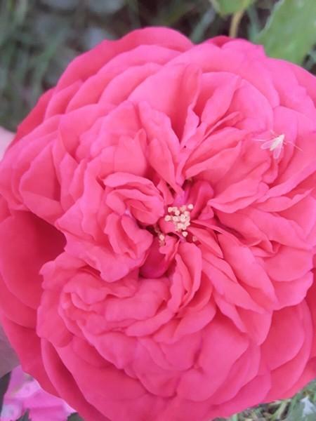 Показываю, какие РОЗЫ цветут в конце августа у нас В САДУ