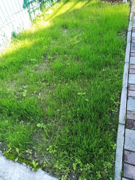 Посеял газон на даче. Показываю результат через 3, 5 и 7 недель.