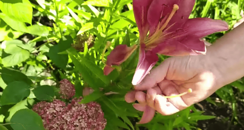Сажаем лилии в августе. Уход за лилиями в августе