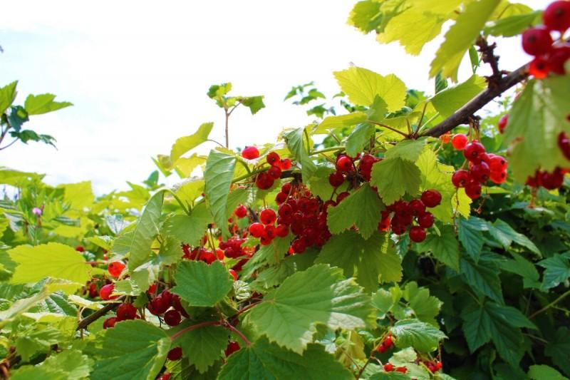 Сохраняю красную смородину на кусту до самых морозов ( мой 15 – летний опыт выращивания кустарника)
