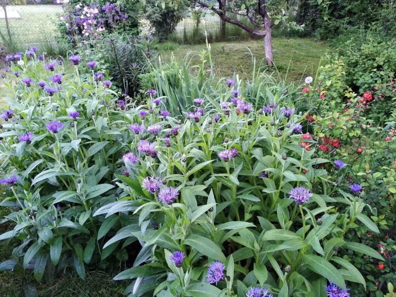 Василёк садовый многолетний